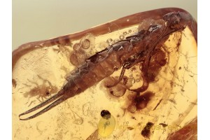 DERMAPTERA Huge EARWIG in BALTIC AMBER 1321
