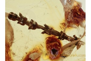 UNUSUAL Plant Twig w Fruits in BALTIC AMBER 1349