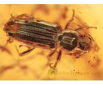 BOTHRIDERIDAE Great Dry Bark Beetle in BALTIC AMBER 1363