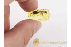 Plecoptera Giant 11mm body STONEFLY in BALTIC AMBER 1364