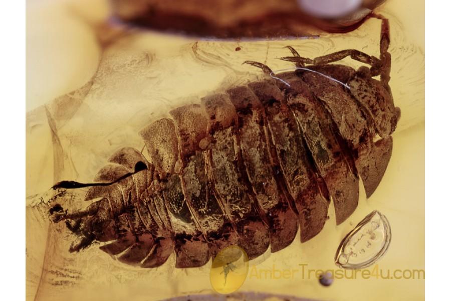 ONISCIDAE Isopod Woodlouse Inclusion in BALTIC AMBER 1378
