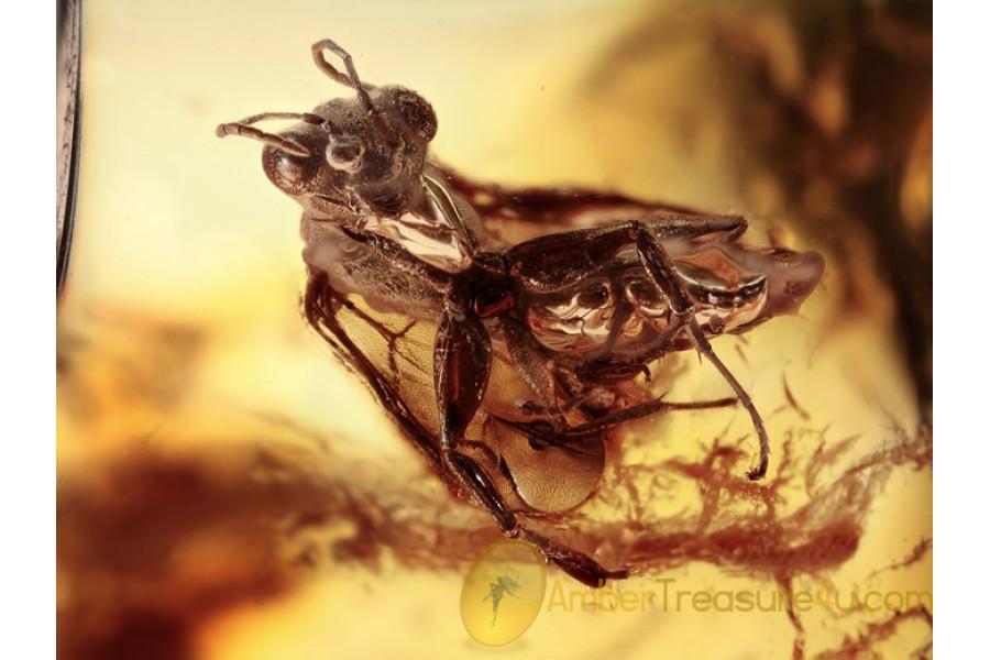 DRYINIDAE Superb Rare Wasp in BALTIC AMBER 1405