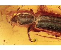 TROGOSSITIDAE Temnoscheila Bark-Gnawing Beetle in BALTIC AMBER 1439