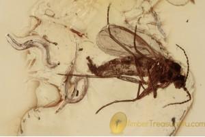 NEMATODA 2 Heydenius sciarophilus & Sciarid in BALTIC AMBER 1524
