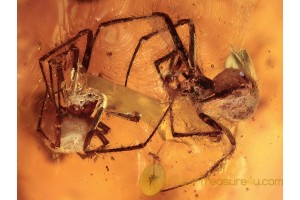 SYNOTAXIDAE Acrometa 2 Spiders in BALTIC AMBER 1693