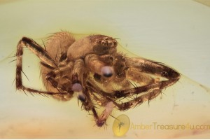 ARANEIDAE Orb-Weaver Spider in BALTIC AMBER 1652