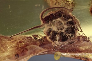 LITHOBIIDAE Curled Large Stone Centipede BALTIC AMBER 1773