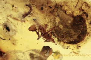 AMPHIPODA Freshwater Shrimp +  DYTISCIDAE Larvae BALTIC AMBER 1772