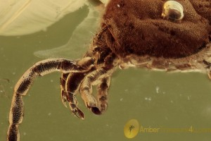 TROMBIDIIDAE  Velvet Mite Well Visible Chelate Palps BALTIC AMBER 1788