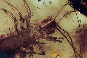 SCUTIGERIDAE Huge House Centipede Inclusion BALTIC AMBER 1792