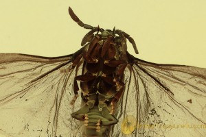 STREPSIPTERA Superb Twisted-Winged Parasite in BALTIC AMBER 1794