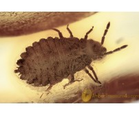 ARADIDAE Flat Bug Inclusion Genuine BALTIC AMBER 1900