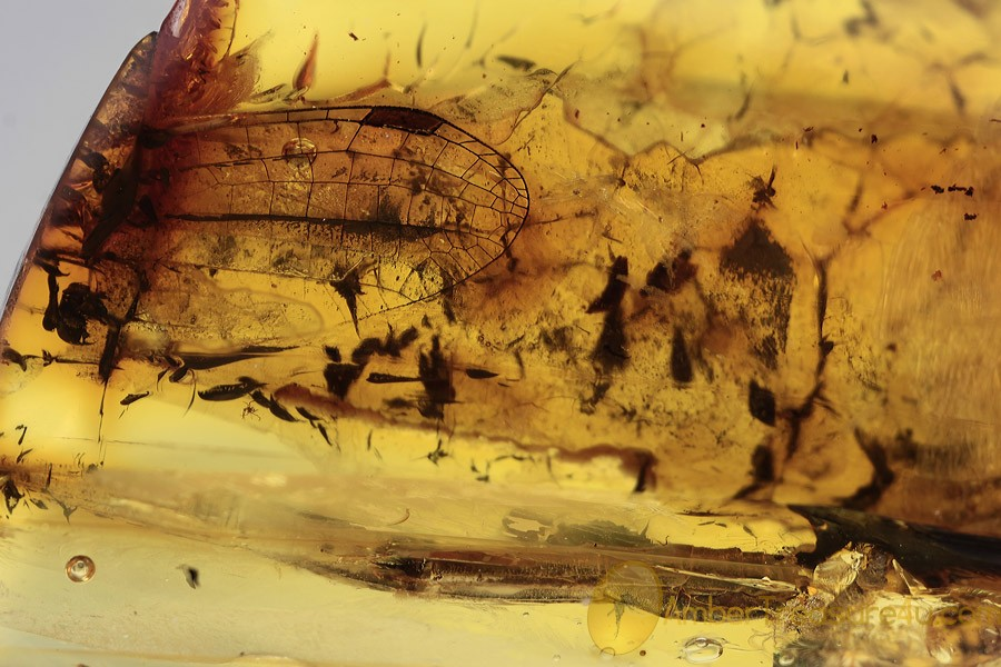 ODONATA Dragonfly Wing & Genitalia Inclusion BALTIC AMBER 1925