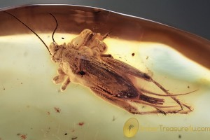 GRYLLIDAE Large Rare Winged Cricket BALTIC AMBER 1936