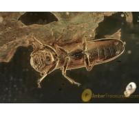 BOTHRIDERIDAE Teredinae PHORESY Dry Bark Beetle BALTIC AMBER 1955