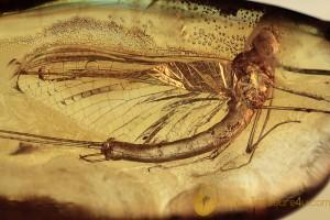 EPHEMEROPTERA Huge Mayfly Fossil Inclusion BALTIC AMBER 1990
