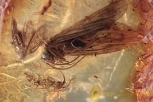 TRICHOPTERA Blue Eyed Caddisfly + Moth & Centipede BALTIC AMBER 2043