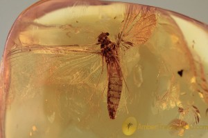 EPHEMEROPTERA Huge Spread Wings Mayfly BALTIC AMBER 2054