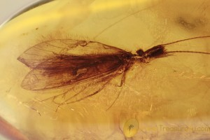 TRICHOPTERA Rare Caddisfly Inclusion BALTIC AMBER 2050
