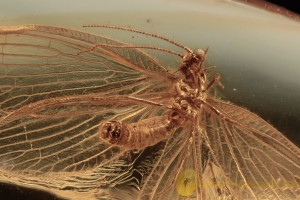 NEVRORTHIDAE Perfect Spread Wings LACEWING BALTIC AMBER 2049