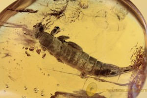 DERMAPTERA Giant EARWIG Nymph Inclusion BALTIC AMBER 2069