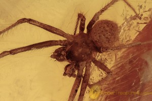 SYNOTAXIDAE Acrometa SPIDER Inclusion BALTIC AMBER 2080