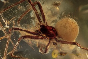THERIDIIDAE Superb Cobweb Weaver Spider BALTIC AMBER 2081