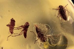 CICADELLIDAE  4 LEAFHOPPER Cicada Nymphs BALTIC AMBER 2092
