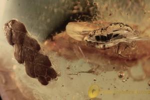 THUJA Twig & TACHYPORINAE Crab-like Rove Beetle BALTIC AMBER 2106