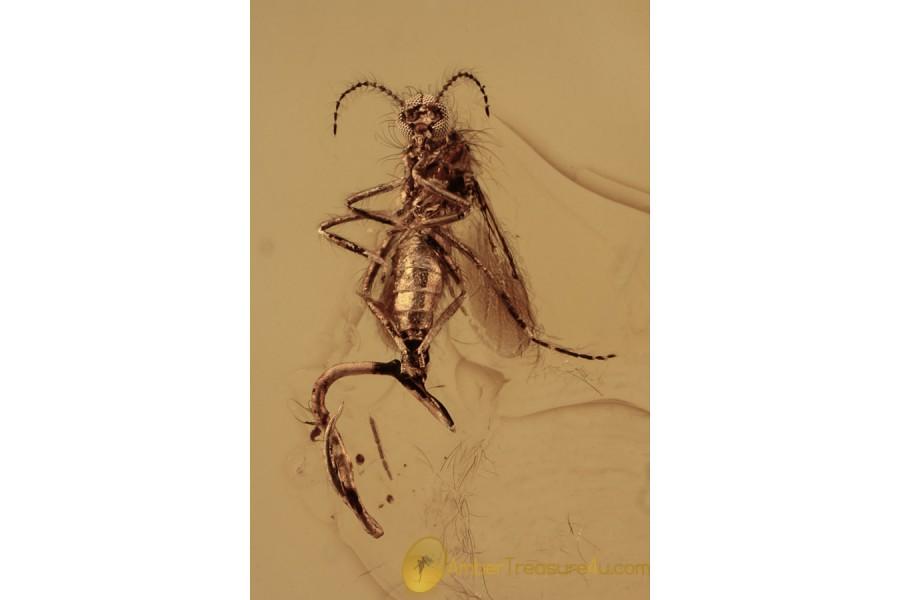 NEMATODA Parasitic Round Worm & Chironomidae BALTIC AMBER 2099