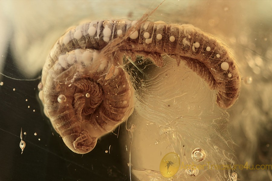 DIPLOPODA Great Looking Millipede Inclusion BALTIC AMBER 2132