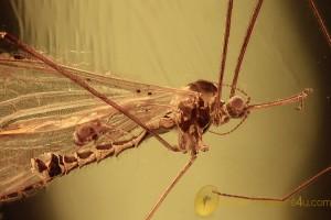 LIMONIIDAE Helius Crane Fly & Phoretic Mite BALTIC AMBER 2186