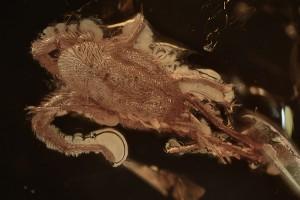 TROMBIDIIDAE Large Velvet Mite Inclusion BALTIC AMBER 2243