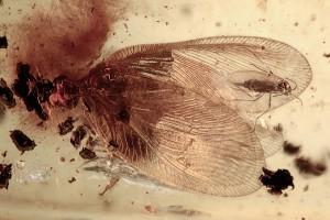 HEMEROBIIDAE Proneuronema new genus Brown LACEWING BALTIC AMBER 2248