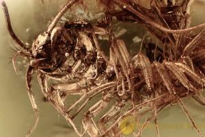 SCUTIGERIDAE Great House Centipede BALTIC AMBER 2259
