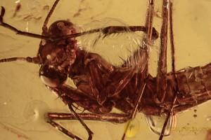 MANTODEA Superb Praying Mantis Nymph BALTIC AMBER 2283