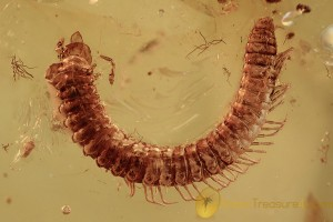 DIPLOPODA Superb Looking Curled Millipede BALTIC AMBER 2290