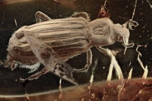 BOTHRIDERIDAE Pseudobothrideres Rare Dry Bark Beetle BALTIC AMBER 2330
