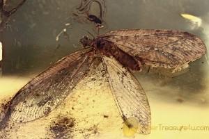 OSMYLIDAE Protosmylus Extremely Rare Neuroptera BALTIC AMBER 2392