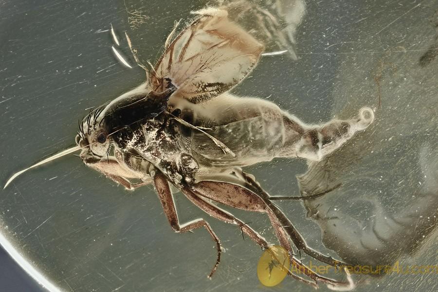 NEMATODA Parasitic Round Worm Emerged from Huge Phorid BALTIC AMBER 2452