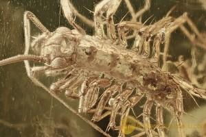 Rare House Centipede Scutigeridae Click Beetle and mould (fungi) Inclusion BALTIC AMBER 2451