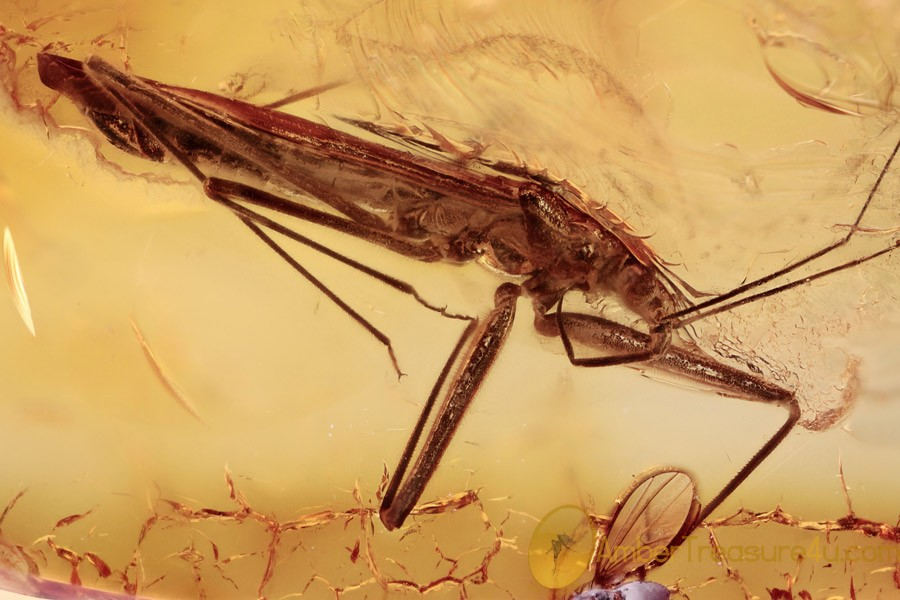 THREAD-LEGGED ASSASSIN BUG Very Rare Adult Emesinae BALTIC AMBER 2423