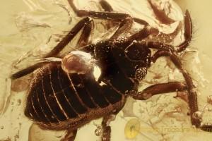 SMALLER WATER STRIDER Veliidae Aquatic Bug BALTIC AMBER 2429