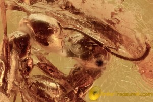 ACTION! FIGHTING ANTS Biting with Mandibles Inclusion BALTIC AMBER 2482