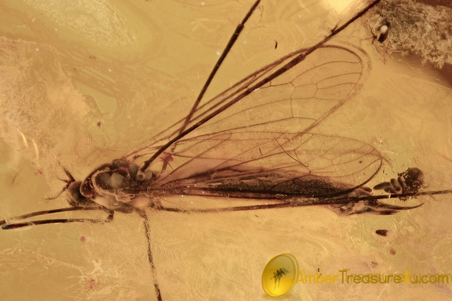 ACTION! Large Limoniidae Crane Fly LAYING EGGS in BALTIC AMBER 2480