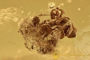 OAK FLOWER & 6 Micro MITES Inclusion BALTIC AMBER 2643