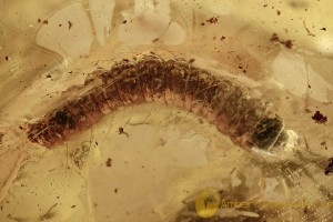 MOTH LARVAE Lepidoptera Caterpillar & Plant BALTIC AMBER 2647