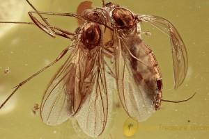 GREAT SCENE 2 Perfect Gnats Sciaridae BALTIC AMBER 2645