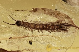 Great STONE CENTIPEDE Lithobiidae Inclusion BALTIC AMBER 2655