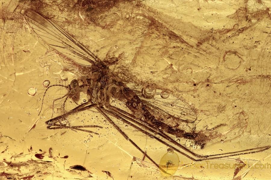 PHANTOM MIDGE Chaoboridae Chaoborus Rare Inclusion BALTIC AMBER 2661
